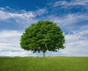 Lone Maple Tree --- Image by © Royalty-Free/Corbis